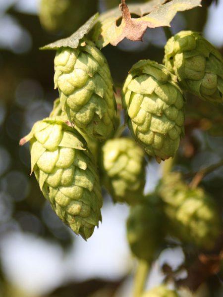 hop breeding program