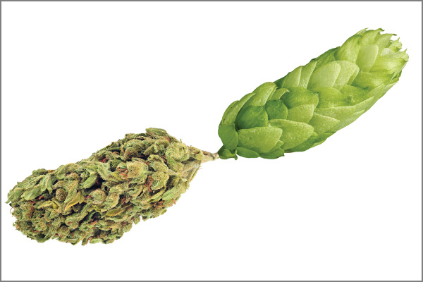JanFeb19 The New Brewer Cannabis