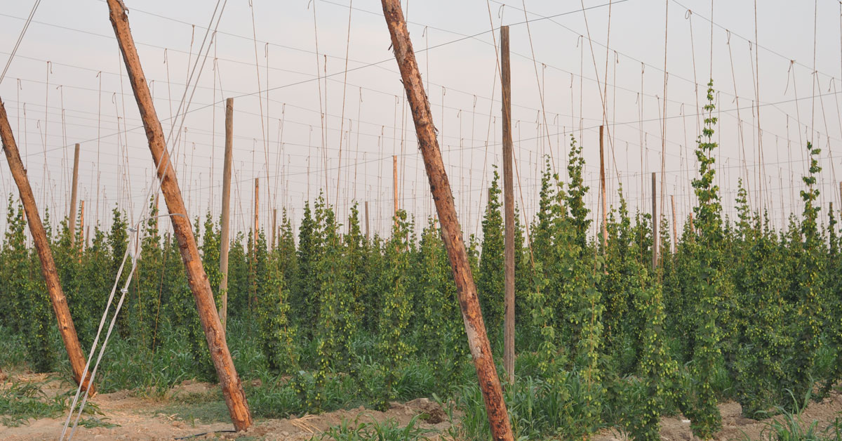 Good Bines: Hop Industry Best Practices Program Announced