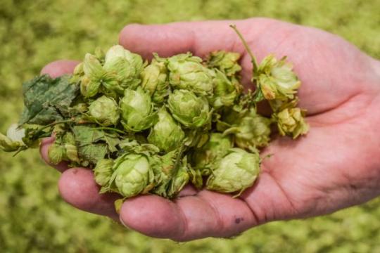 hand holding fresh hops