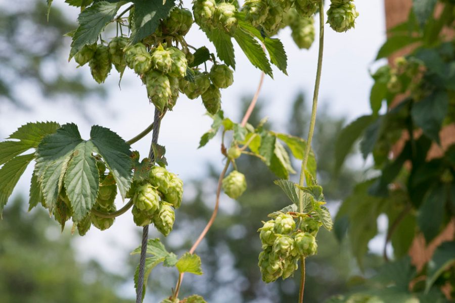 Brewers Association Funded Public Hop Program Research Published