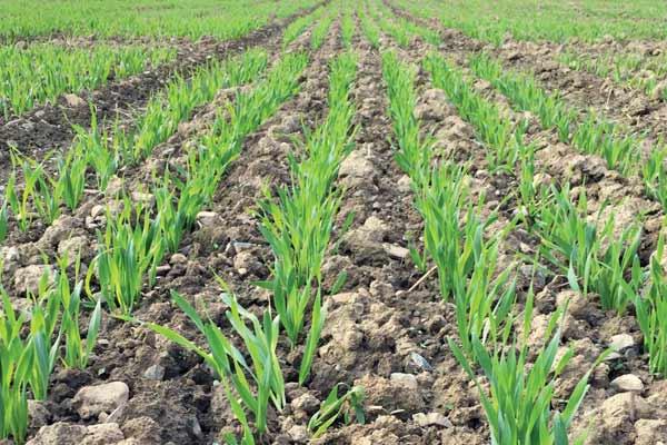 Eastern Spring Barley Nursery