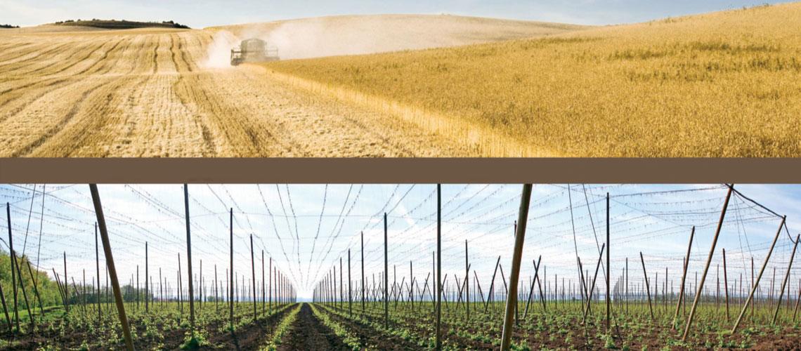 Barley Hops Harvest